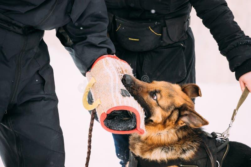 Opleiding van Rasechte Duitse herder Young Dog Or Elzassisch Wolf Dog Aanval en Defensie Opleiding met Koker in de Winter stock afbeelding