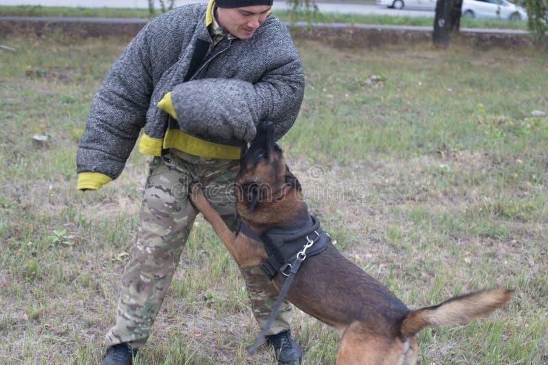 Opleidingsherdershond bij het aanvallen De hond bijt de trainer in een beschermend kostuum royalty-vrije stock afbeeldingen