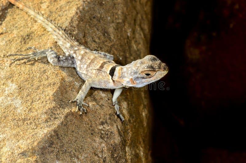 Download Oplurus Cuvieri, Tsingy De Bemahara Stock Image - Image: 26826949