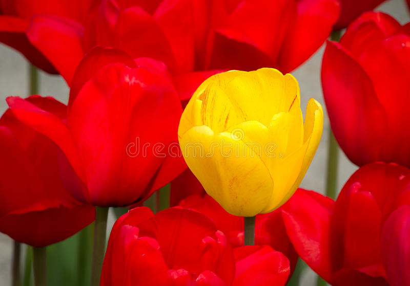 Opmerkelijke Gele Tulp stock foto's