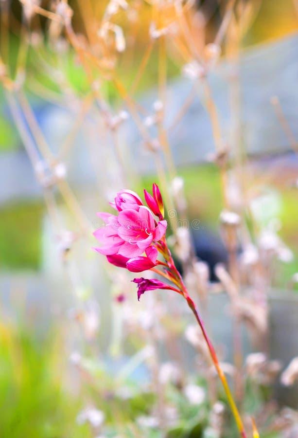 Opmerkelijke roze bloem, een echte schoonheid stock foto