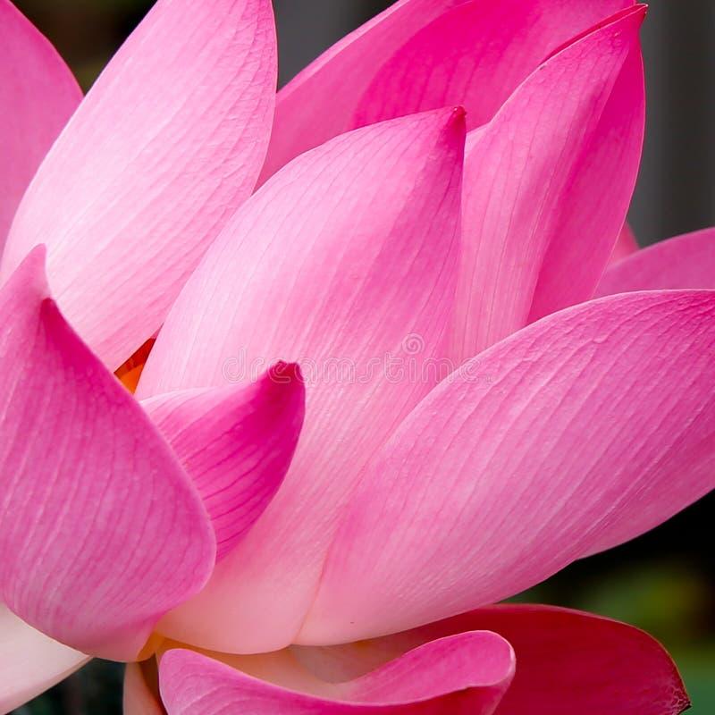 Opne Lotosowy kwiat, tło obrazy stock