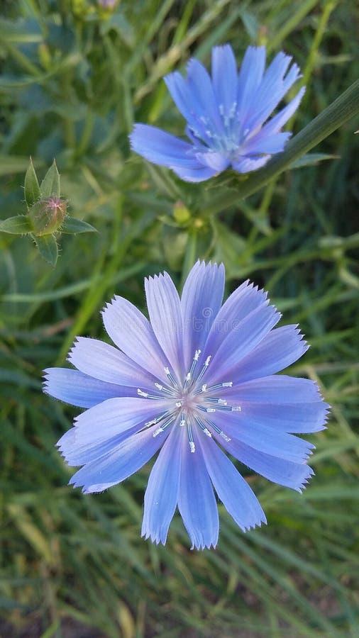 Opnieuw kleine blauwe bloemen stock foto's