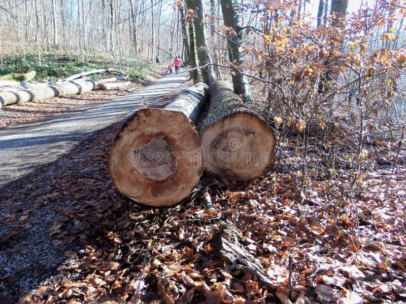 Opony powalać drzewa Jesień słoneczny dzień w lesie obraz stock