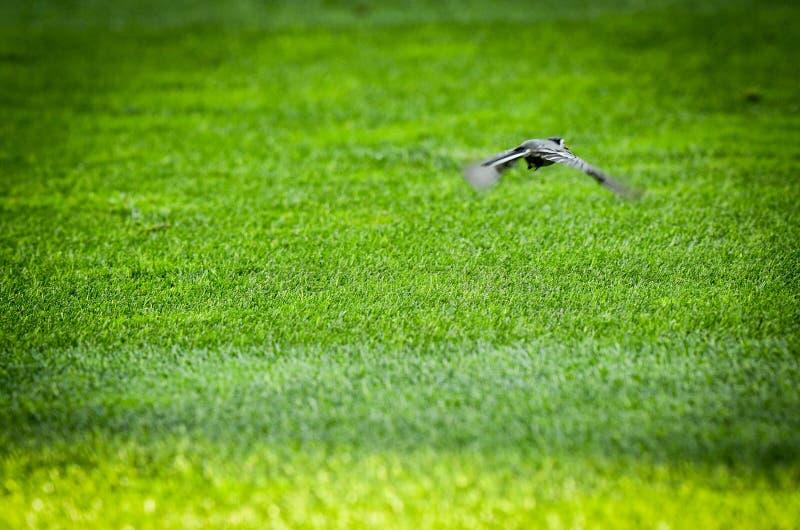OPORTO, PORTUGLAL - 9 de junio de 2019: El pájaro vuela sobre el campo de fútbol durante la liga de las naciones de la UEFA que l foto de archivo libre de regalías