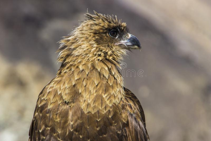 An oportunistic Caracara predator looking for food inside Patagonia mountains, Argentina stock photos
