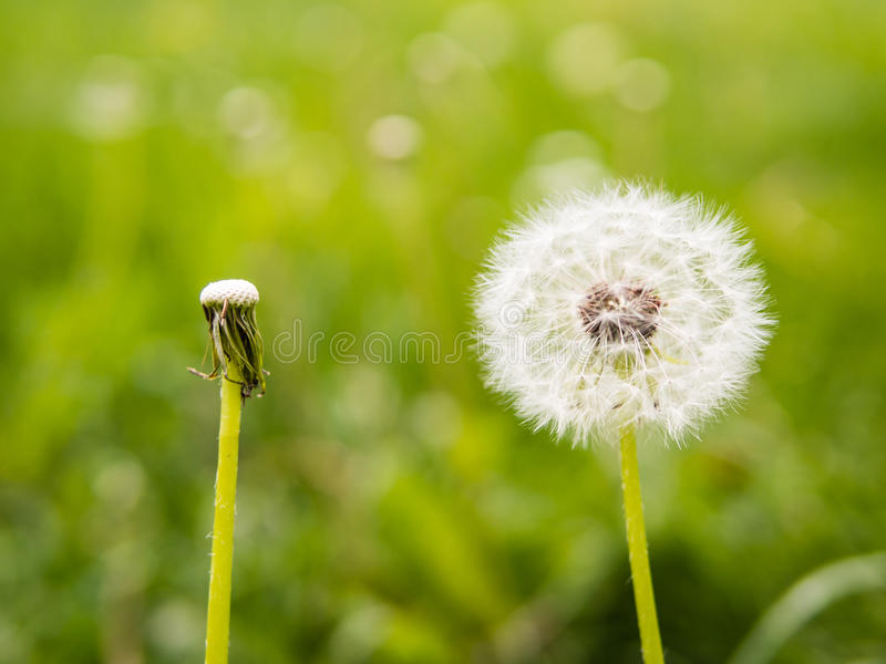 Oposite dandelions: full and empty. With blured background stock images