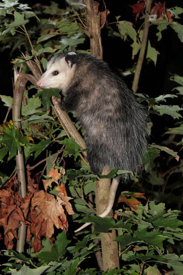 Opossom en árbol imagen de archivo