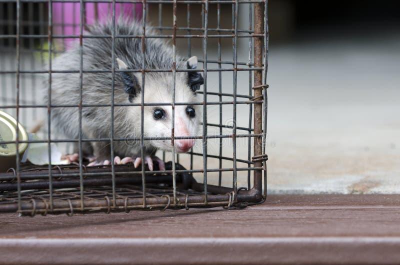 Opossum της Βιρτζίνια νεαρός στην ανθρωπιστική παγίδα κλουβιών ρακούν στοκ φωτογραφία με δικαίωμα ελεύθερης χρήσης
