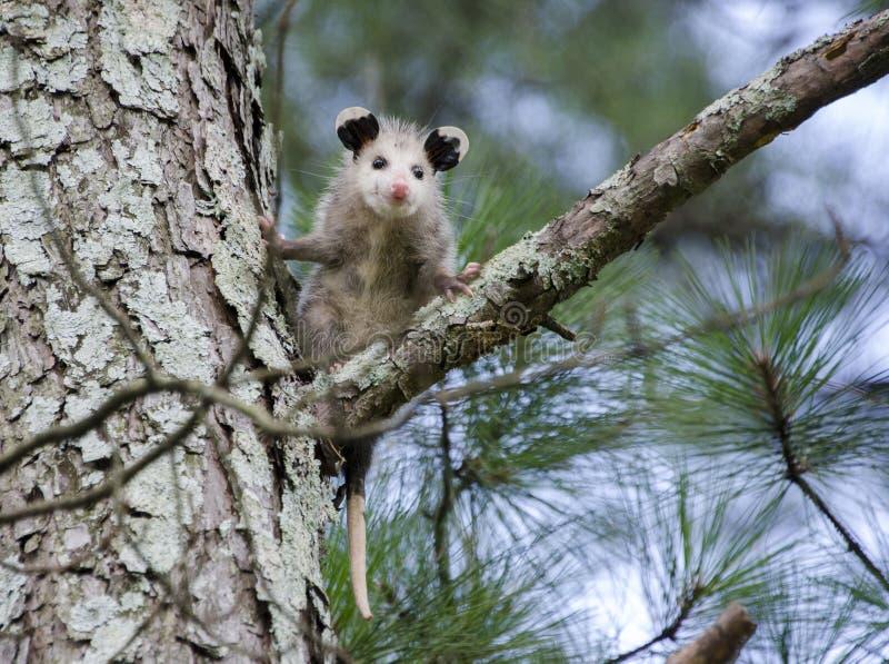 Opossum της Βιρτζίνια νεαρός στο δέντρο στοκ φωτογραφίες με δικαίωμα ελεύθερης χρήσης