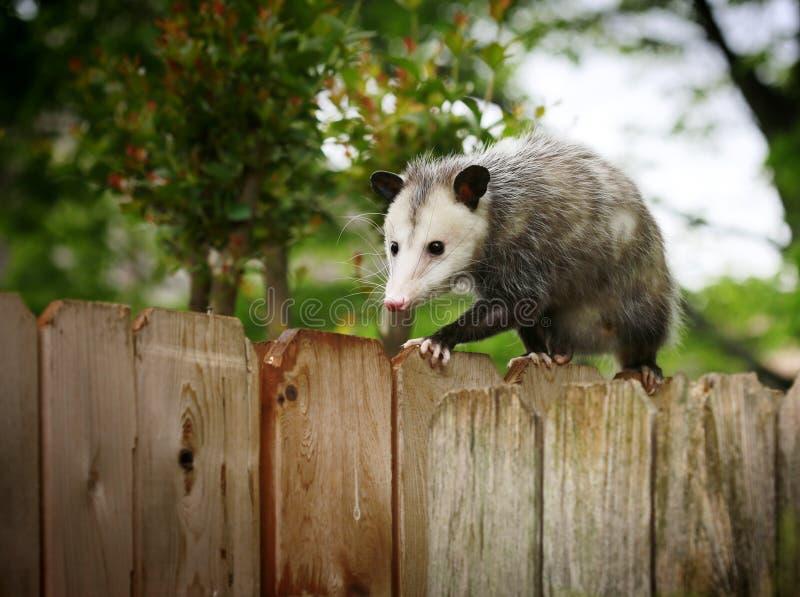opossum photo stock