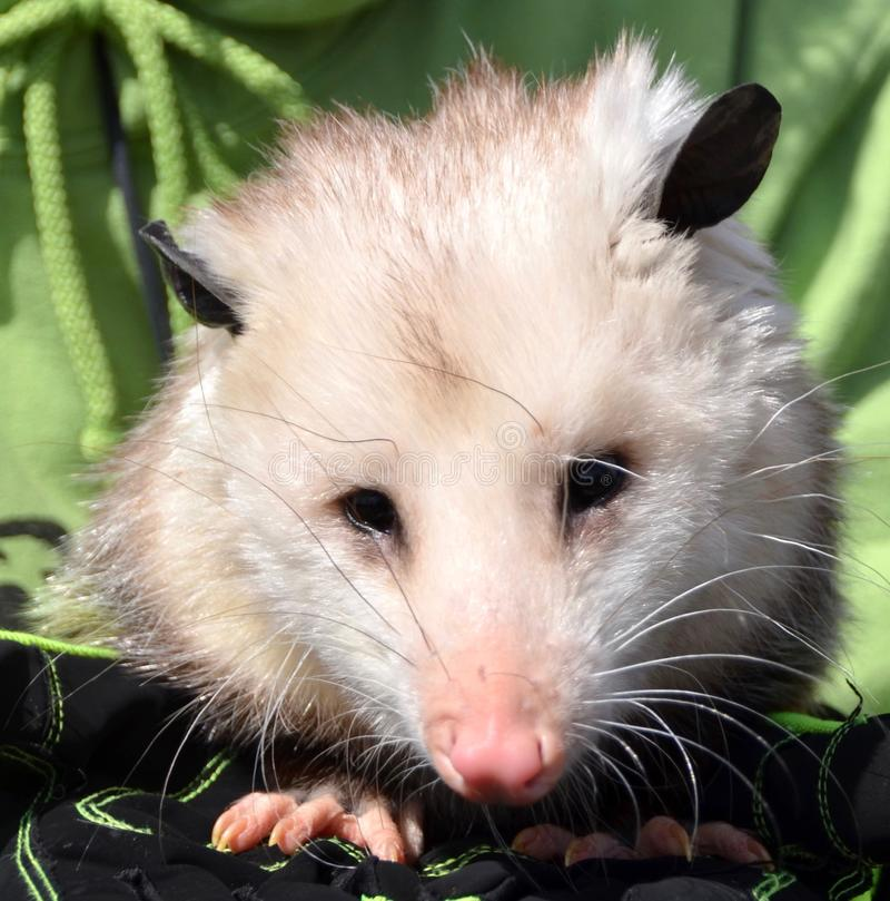 opossum image stock