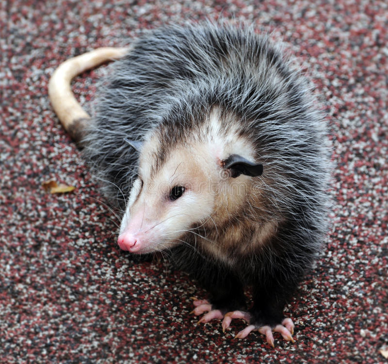 Opossum stockbilder