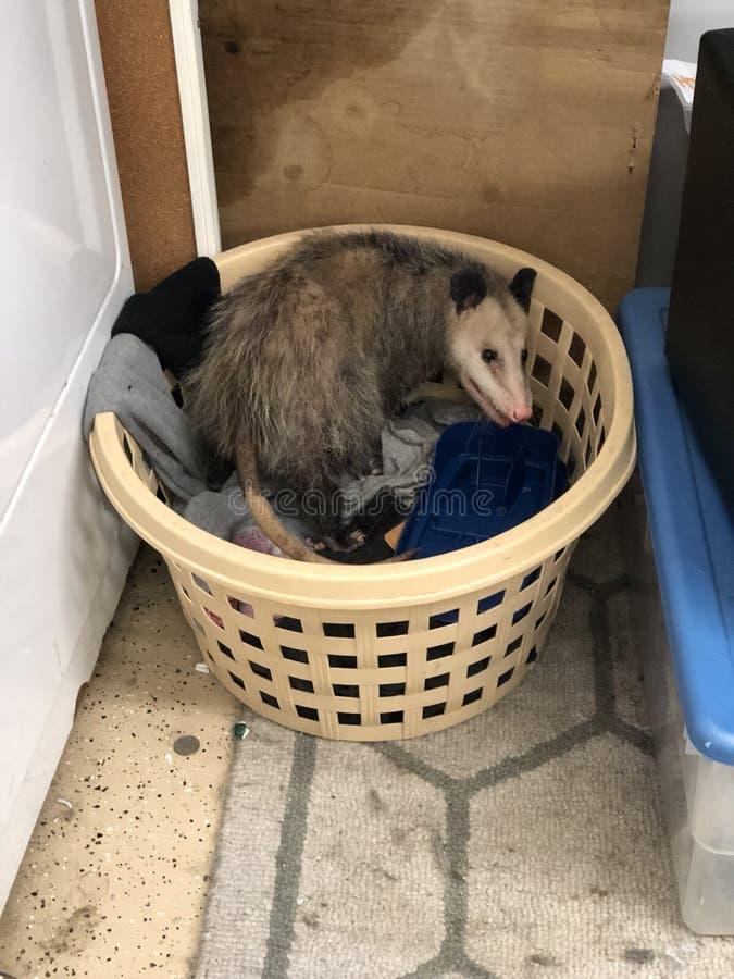 opossum photographie stock