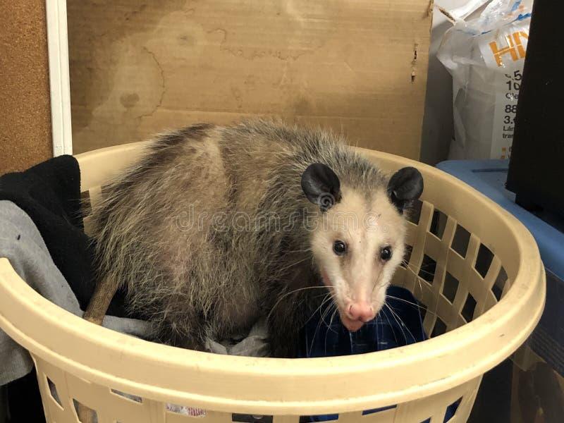 opossum photographie stock libre de droits