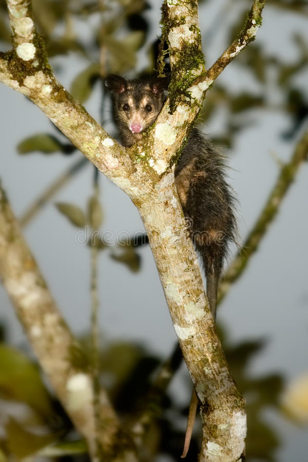 Free Opossum Stock Image - 12612411