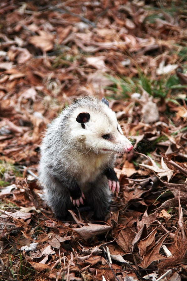 Opossum image libre de droits