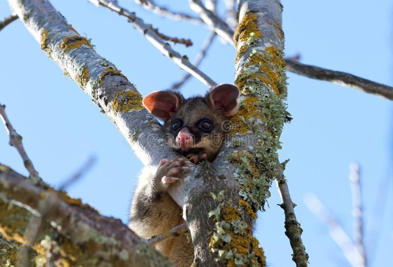Opossum images libres de droits