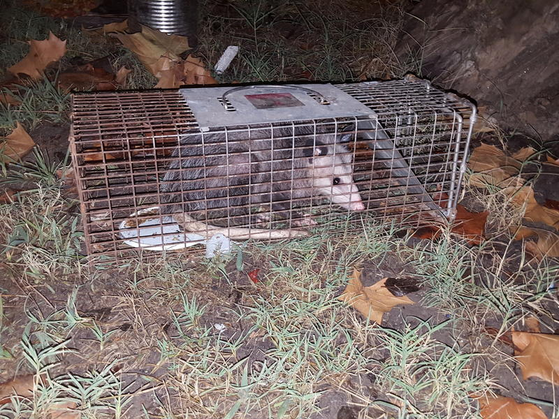 Download Opossum image stock. Image du cage, extérieur, outside - 77160105