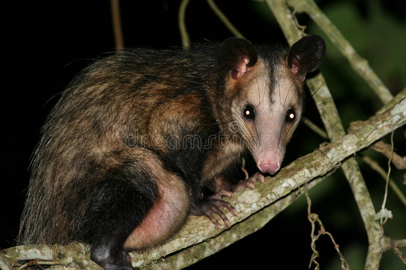Download Opossum stock photo. Image of eared, world, common, cloudforest - 9367746