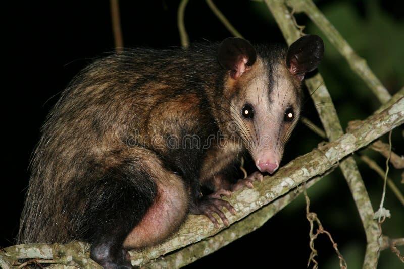 Opossum royalty-vrije stock afbeelding