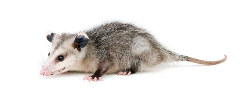 opossum commun photographie stock libre de droits