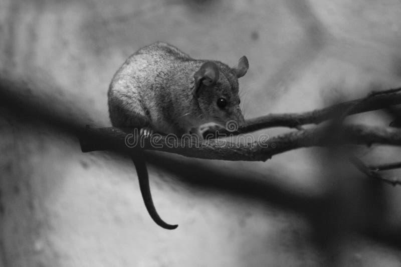 Opossum court-coupé la queue par gris photos libres de droits