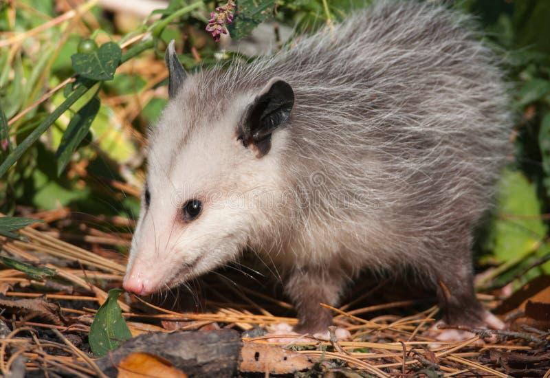Opossum stock photography
