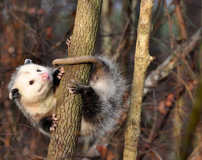 Opossum dans l'arbre image stock