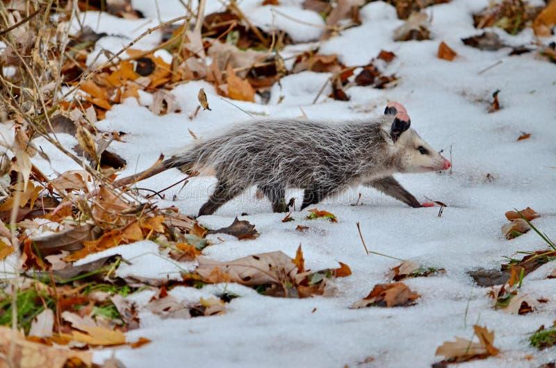 Opossum dans le domaine couvert par neige d'hiver photos libres de droits