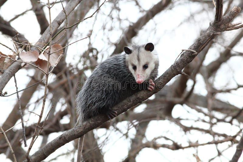 Opossum dans un arbre image stock