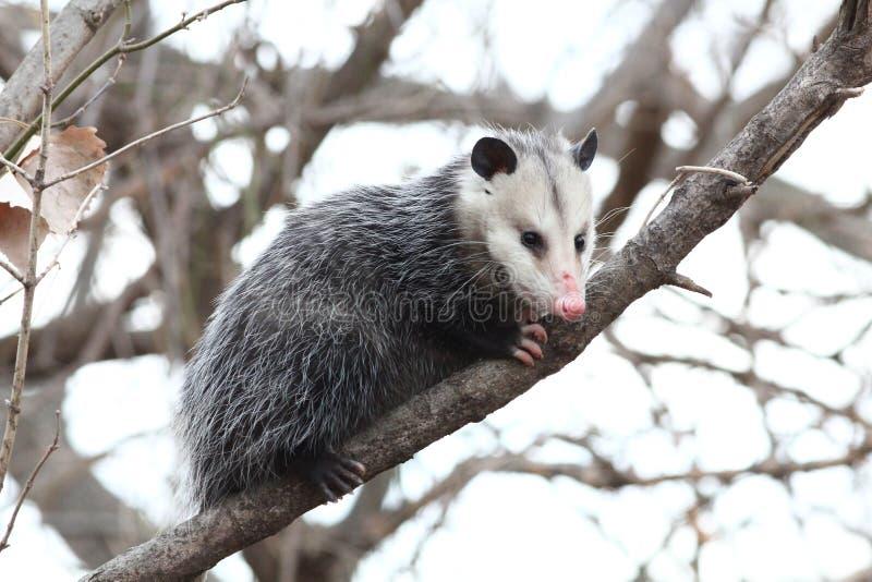 Opossum dans un arbre photographie stock