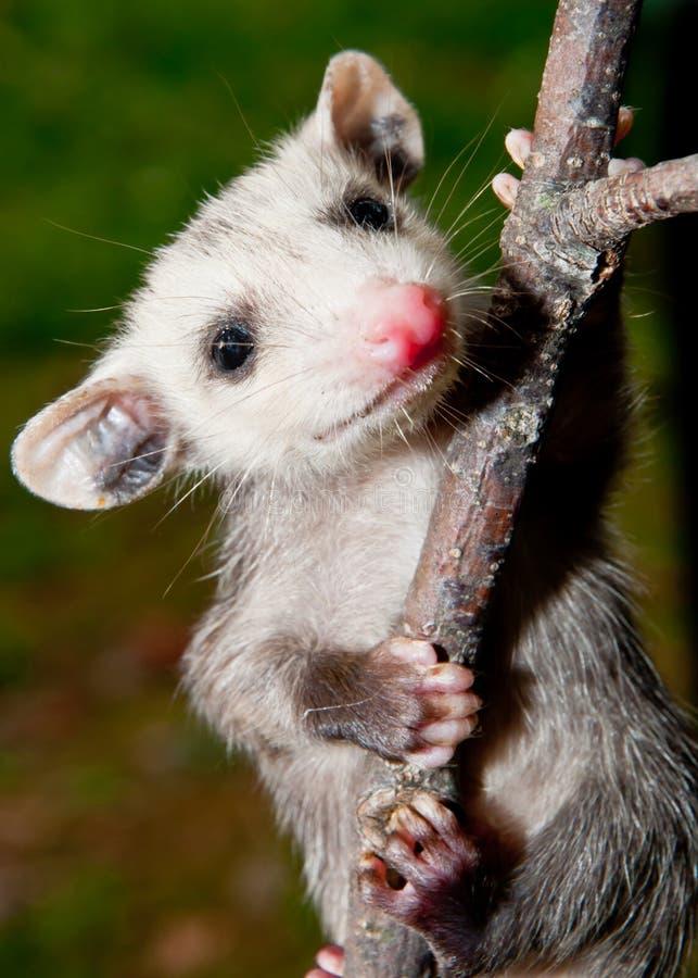 Opossum de bébé photographie stock