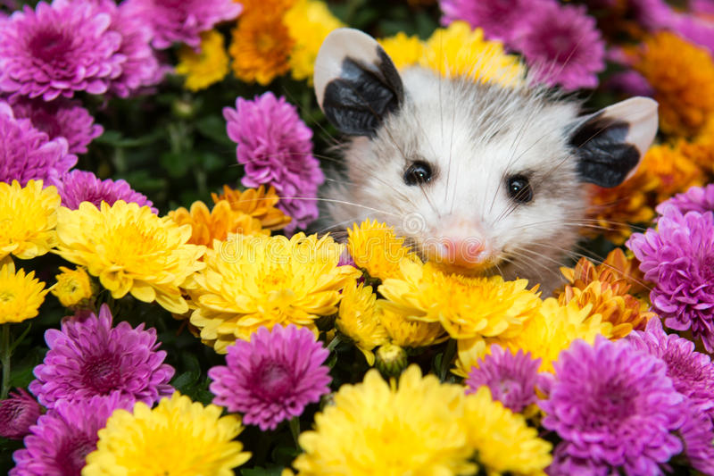 Opossum de bébé photo libre de droits