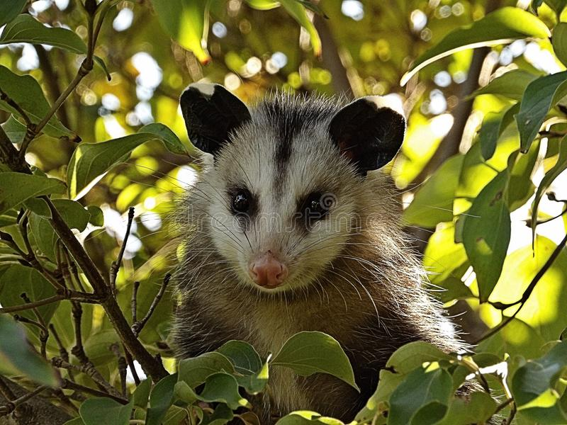 Opossum de bébé image libre de droits