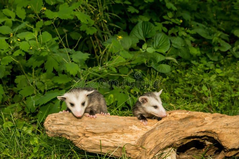 Opossum de bébé images libres de droits