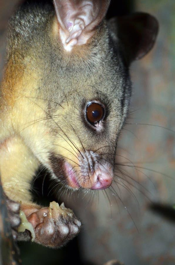 Opossum de Brushtail d'Australien mangeant du fruit images stock