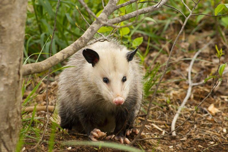 Opossum de l'Alabama photo stock