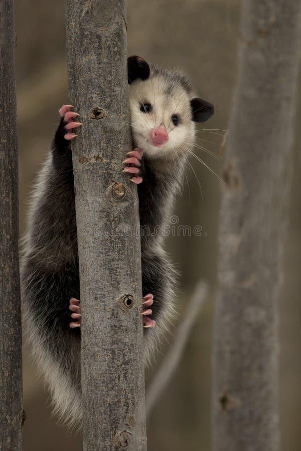 Opossum de la Virginie - Ontario, Canada image stock