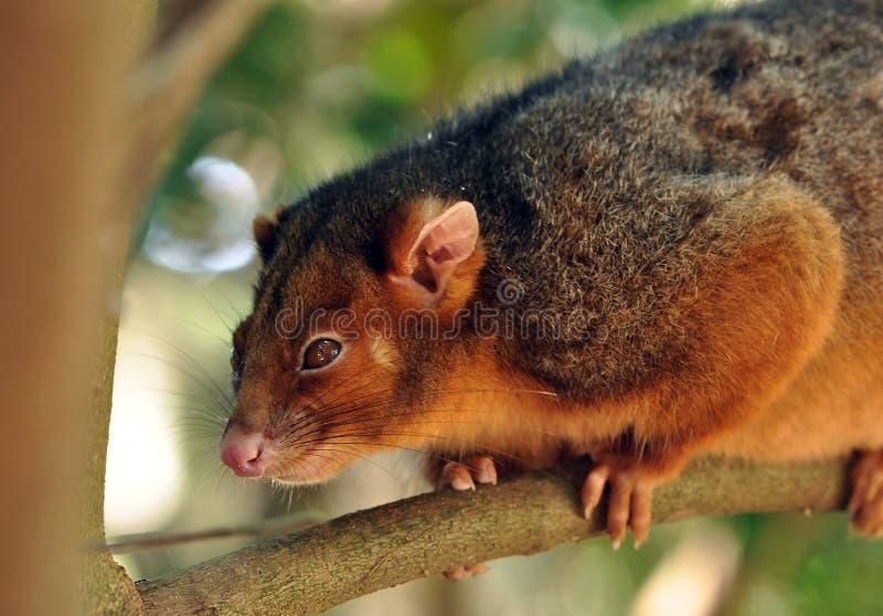 Opossum de Ringtail photographie stock libre de droits