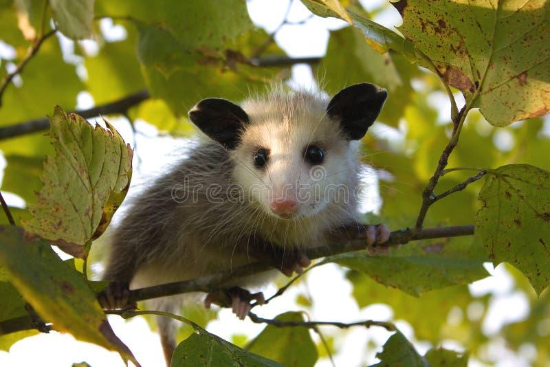 Opossum del bambino immagini stock