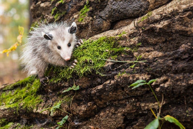 Opossum del bambino immagine stock