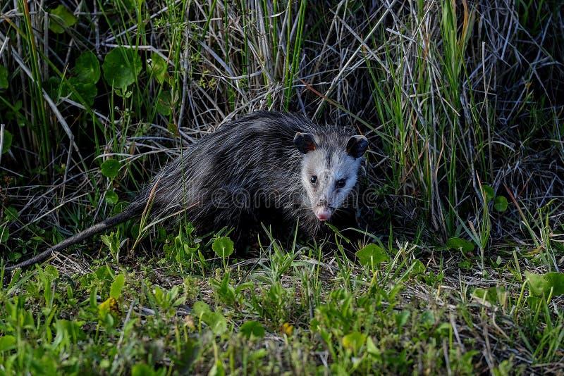 Opossum della Virginia, zone umide di viera immagini stock libere da diritti