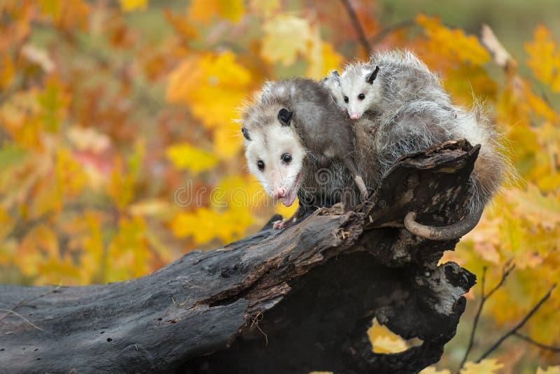 Opossum Didelphimorphia avec Joeys sur son dos à l'extrémité du rondin photographie stock libre de droits