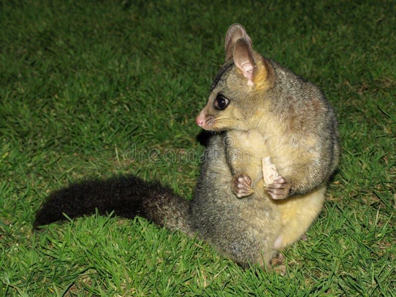 Opossum effrayé image libre de droits
