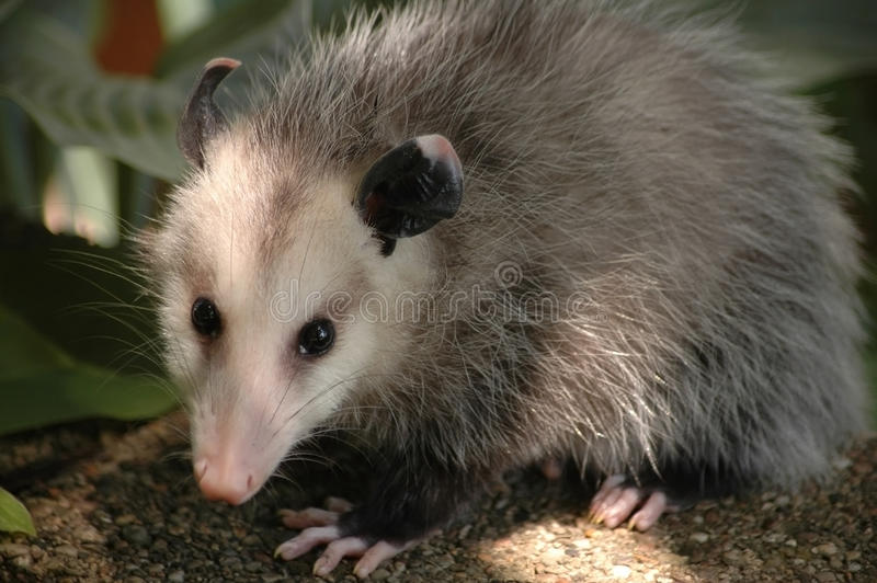 Opossum full body stock photos