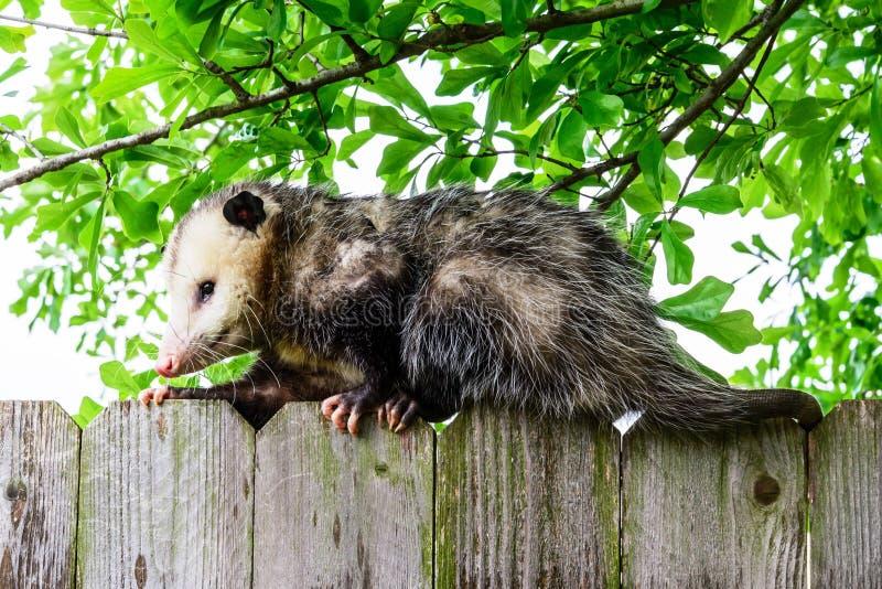 Opossum grigio e bianco su un recinto fotografia stock libera da diritti