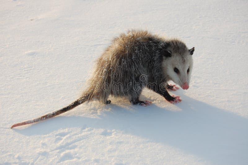 Opossum im Schnee lizenzfreie stockbilder