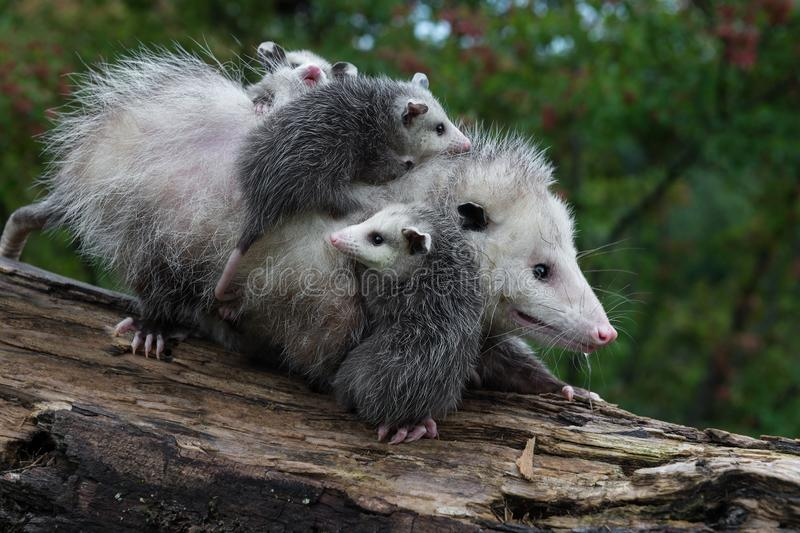Opossum Stock Images - Download 520 Royalty Free Photos