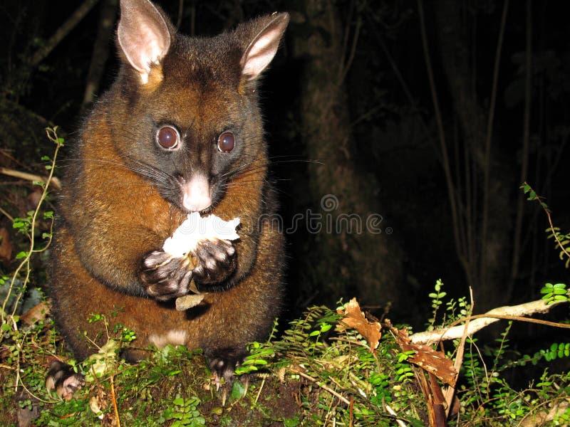 Opossum la nuit en Nouvelle Zélande image stock